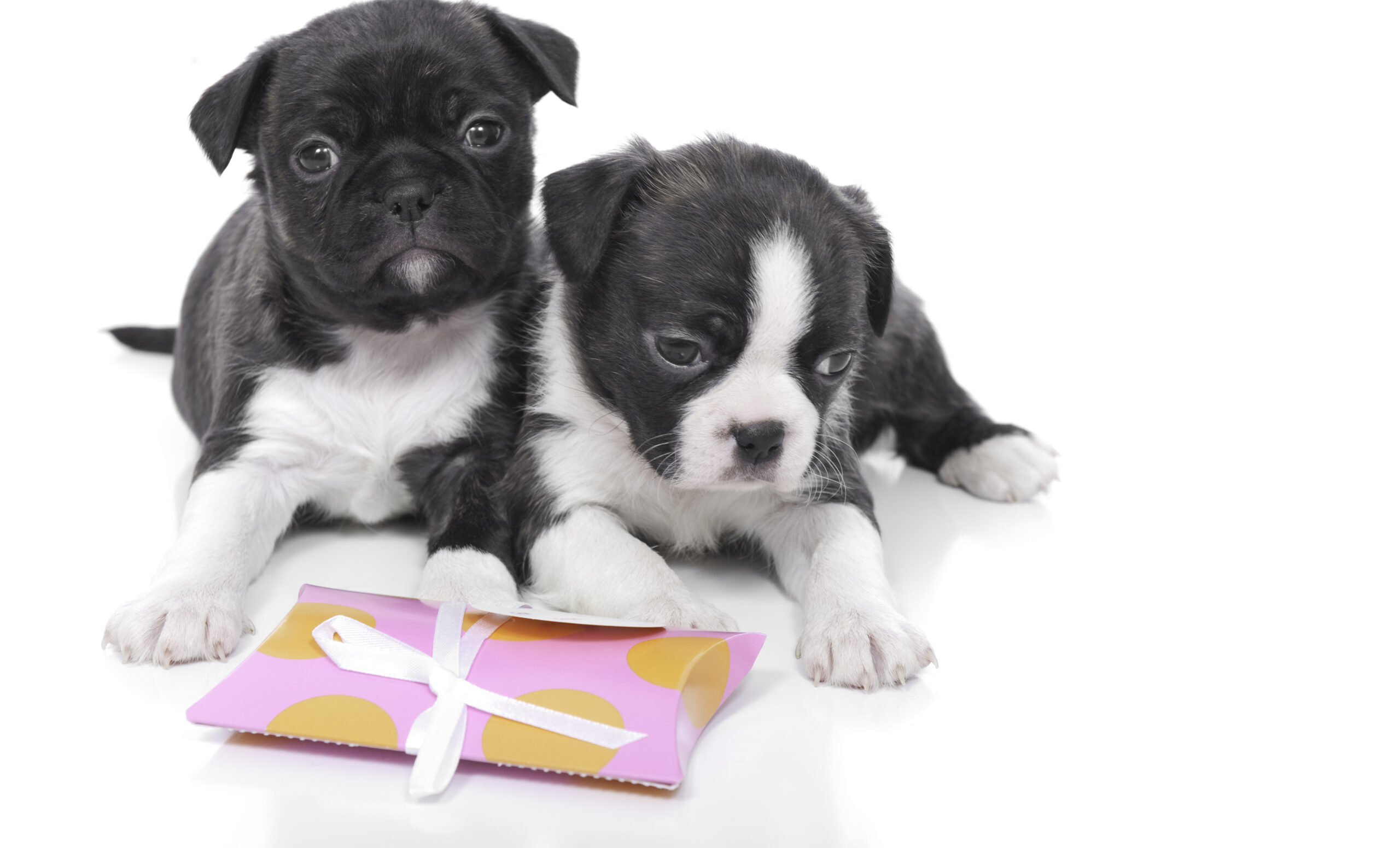 A pair of cute boston terrier mix puppies.